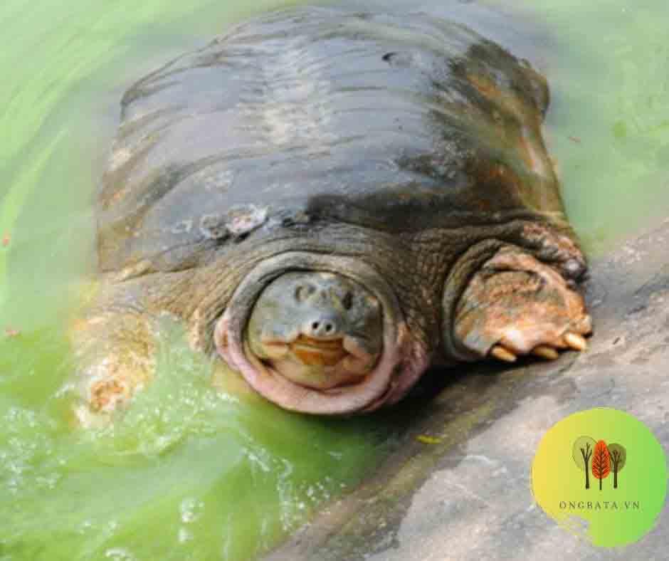cụ rùa hồ gươm